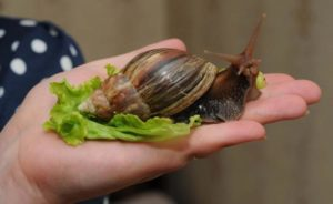 history-of-snails-achatin